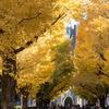 東大、安田講堂前の銀杏並木の黄葉と、三四郎池の紅葉を観に行く 本郷キャンパス