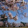 秋葉公園(新潟市秋葉区)の桜2019