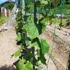 家庭菜園1週間の報告です。ピーマン、ナス、キュウリ、かぼちゃです。