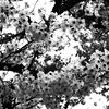 OLYMPUSのコンデジ 「XZ-10」で2017年4月17日までに撮影した写真を紹介します。ヤエザクラやヤマブキが咲いています