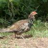 キジ(若鳥)雌雄の砂浴び