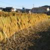 3つ目の耕起田んぼの稲刈りをしました!真っ暗な中の天日干しです(^^;