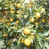 果樹園の柑橘類