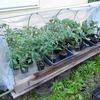 苗づくりから2か月半!ようやくトマトとナスを定植!
