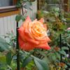 今週のバラ