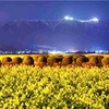 夜中の撮影。第1なぎさ公園の菜の花畑。