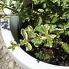 #18 プリペット 斑入り葉の復活