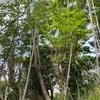 枯れた松の伐採