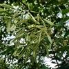 シマトネリコ シンボルツリー 実生