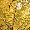 「週末ライフ」に自分流「旅のスタイル探し」が重なって歩いた通りは、イチョウ並木が黄色く染めて、ひととき憩う日曜日の午後。
