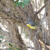 ヒガシキバラヒタキ(Eastern Yellow Robin)など