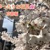 【京都桜観光】人混みを避けながら楽しめるお花見コースを、地元民がご紹介します
