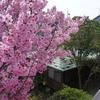 *満開の桜