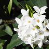 白花沈丁花の匂い しろばなじんちょうげ Daphne