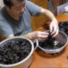 2019年の梅干:(3)紫蘇を揉む【揉み〜紫蘇を梅酢で漬ける(一日)〜梅に合わせる】「庭いじりの贅沢」