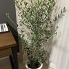 我が家の観葉植物、オリーブについて(その1)