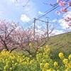【旅行記】河津桜を見に伊豆へ行ってきました