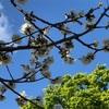 桜の季節もそろそろ終わり、、、