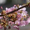 DMC-GX8で河津桜を撮りました(前編)