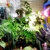 パルダリウム白メダカ水槽のお手入れ♪植物剪定