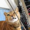 11月後半の #ねこ #cat #猫 どらやきちゃんB