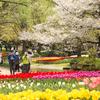 春爛漫の昭和記念公園 桜、チューリップその他色々