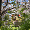 千本ゑんま堂の普賢象桜、藤の花、シャガ