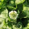 シロツメクサの花が咲きました【うさぎのための庭づくり】グランドカバーの白クローバー成長記録