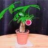 春なのでパキラという植物を育て始めました。