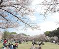 東海市のお花見スポット「大池公園」の桜を堪能してきました【愛知県・東海市】