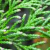 ヒノキ花粉 平成31年春のヒノキ花粉飛散量は少ない ‼