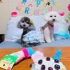 犬服〜夏のアニバーサリーワンピの作り方