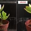 多肉植物のはなちゃん成長日記2 ~3週目~