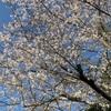 こんな緊急事態でも、桜は綺麗に咲いてくれました。