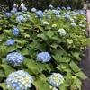 隅田公園の紫陽花が咲き始めました