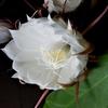 月下美人 花を17輪咲かせました