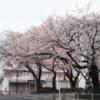 西門通りのさくら情報 No4 3月23日