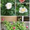 庭のバラをお土産に