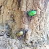 虫を使って樹液を探す技を紹介。カナブンたちを利用して、カブトムシやクワガタがいる場所を知ろう。