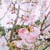 体調不良でも桜に癒される