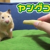 【ハムスター 動画】激カワ!!ヤングコーンをハムスターにあげた結果、食いつきが半端なかった!Hamsters who eat young corn are cute!