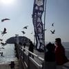 竹島海岸のユリカモメ