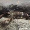 カスリテナガエビ Macrobrachium sp.