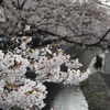近所の桜を撮ってきました。