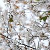 桜とメジロ。