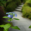紫陽花見頃の三室戸寺