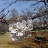 浜町公園へ花見しに行ってみた。ヘリノックス便利、純米せんべいは美味しい。(中央区日本橋浜町)