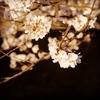 桜が人を悲しませる理由