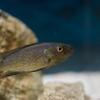 ペリソダス・ミクロレピス Perissodus microlepis