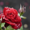 ザ・ローズ(ばら)/ペッド・ミドラー*The Rose/Bette Midler■和訳・訳詞・歌詞・日本語・Japanese Lyrics